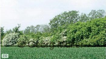 Hochhecke 2-6 m hoch